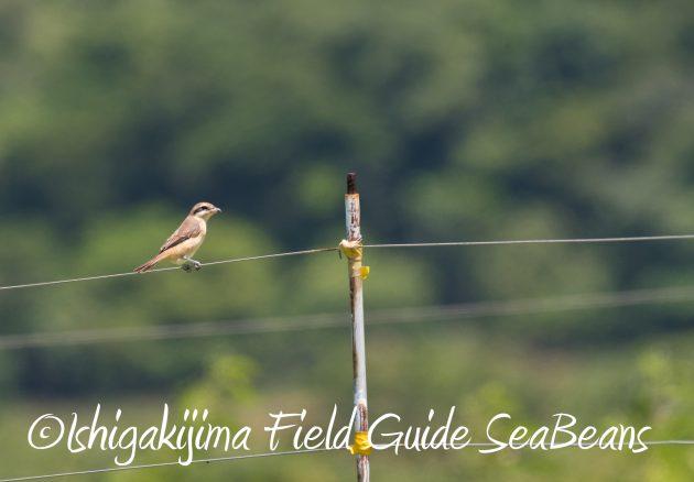 8月27日石垣島バードウオッチング&野鳥撮影9