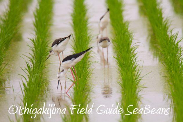 8月31日石垣島バードウオッチング&野鳥撮影13