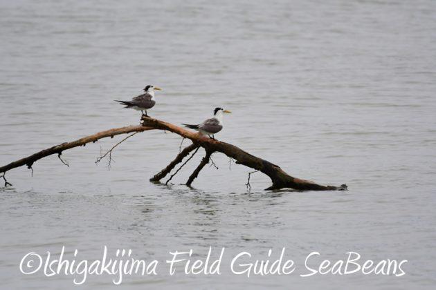 8月6日 石垣島の野鳥 バードウオッチング4
