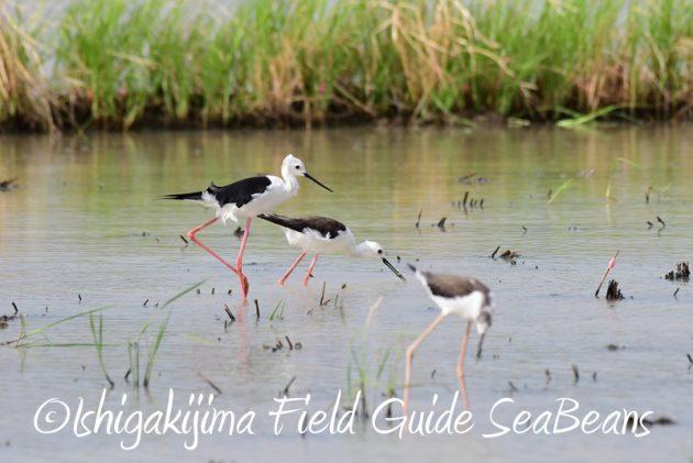 8月1日 石垣島 バードウオッチング 野鳥撮影5