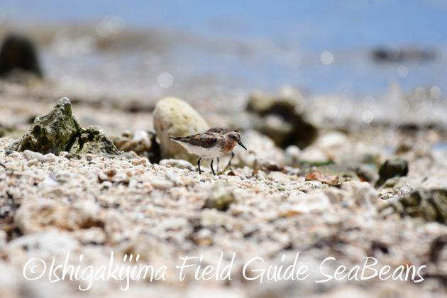 8月9日石垣島の野鳥 バードウオッチング2
