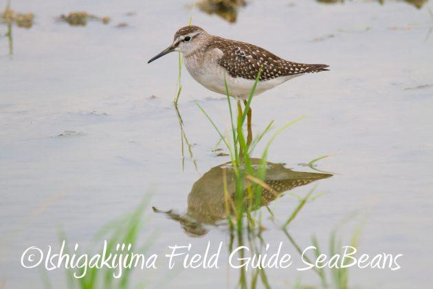 8月31日石垣島バードウオッチング&野鳥撮影14