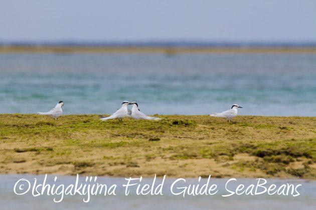 8月31日石垣島バードウオッチング&野鳥撮影2