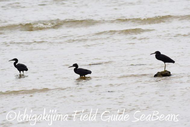8月13日石垣島バードウオッチング&野鳥撮影19