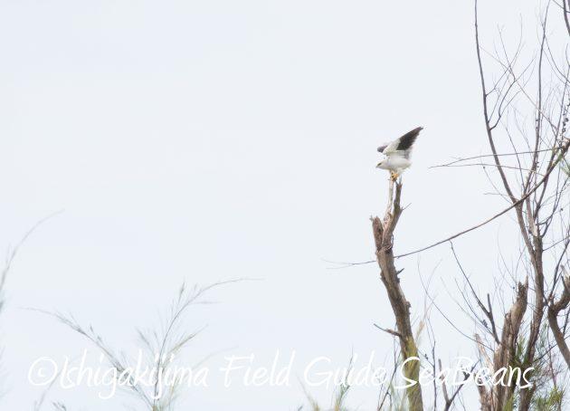 8月13日石垣島バードウオッチング&野鳥撮影8