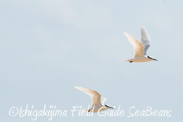 8月2日石垣島 バードウオッチング 野鳥撮影17