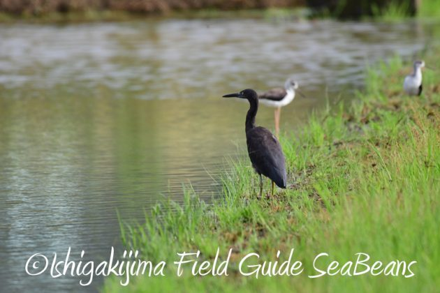 8月11日石垣島バードウオッチング&野鳥撮影1