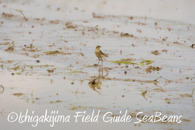 8月25日石垣島バードウオッチング&野鳥撮影ガイド12