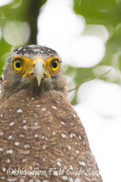 8月12日石垣島バードウオッチング&野鳥撮影11