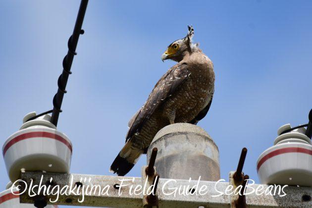 8月6日 石垣島の野鳥 バードウオッチング14