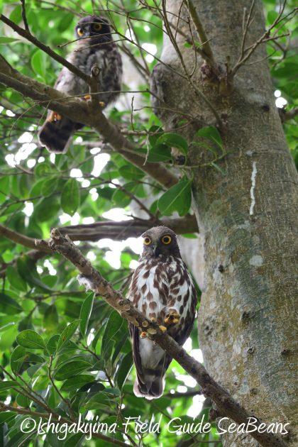 8月13日石垣島バードウオッチング&野鳥撮影9