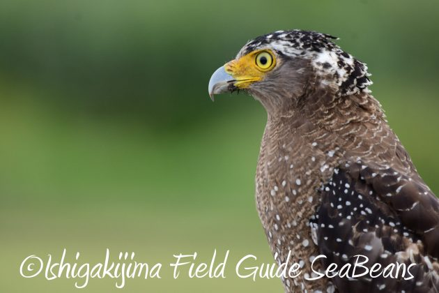 8月13日石垣島バードウオッチング&野鳥撮影4