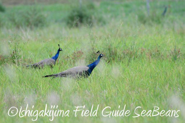 8月2日石垣島 バードウオッチング 野鳥撮影14