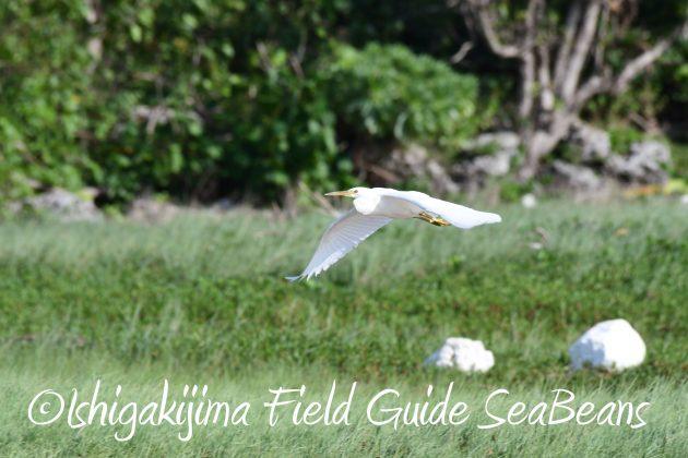8月25日石垣島バードウオッチング&野鳥撮影ガイド4