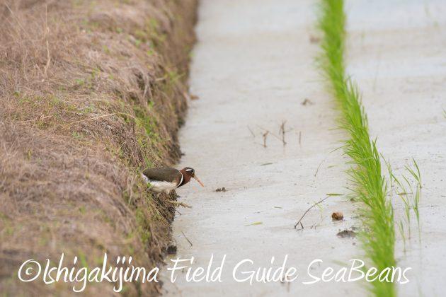 8月25日石垣島バードウオッチング&野鳥撮影ガイド7