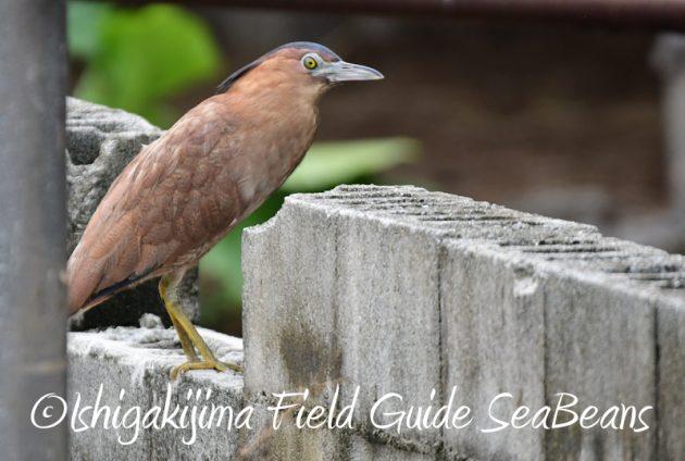 8月6日 石垣島の野鳥 バードウオッチング3