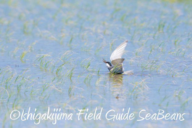 8月30日石垣島バードウオッチング&野鳥撮影12