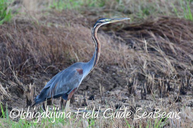 8月6日 石垣島の野鳥 バードウオッチング10
