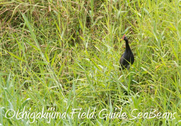 8月26日石垣島バードウオッチング&野鳥撮影ガイド18
