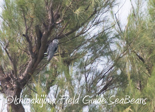 8月11日石垣島バードウオッチング&野鳥撮影10