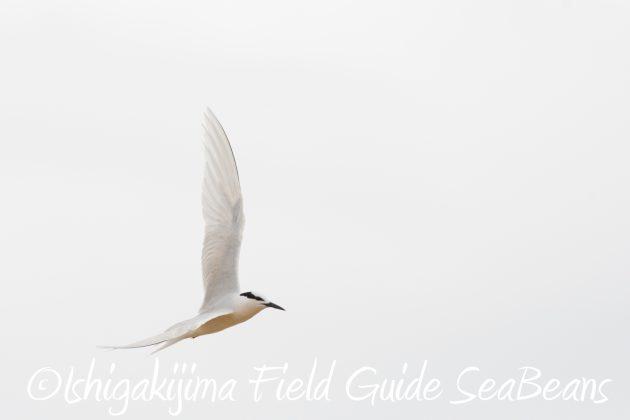 8月17日石垣島バードウオッチング&野鳥撮影15