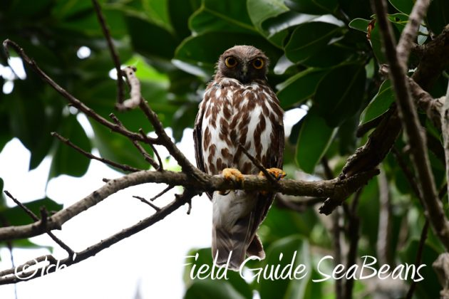 8月6日 石垣島の野鳥 バードウオッチング1