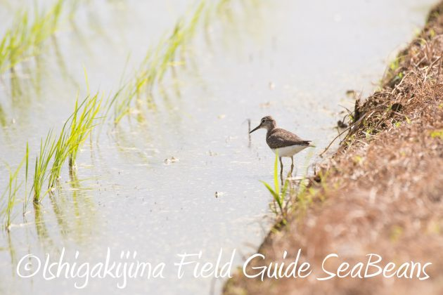 8月26日石垣島バードウオッチング&野鳥撮影ガイド2
