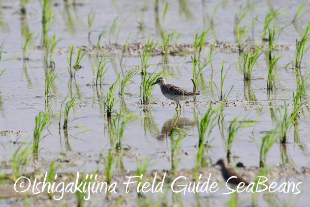 8月25日石垣島バードウオッチング&野鳥撮影ガイド6