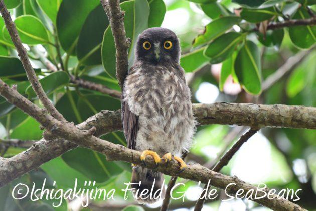 8月6日 石垣島の野鳥 バードウオッチング2