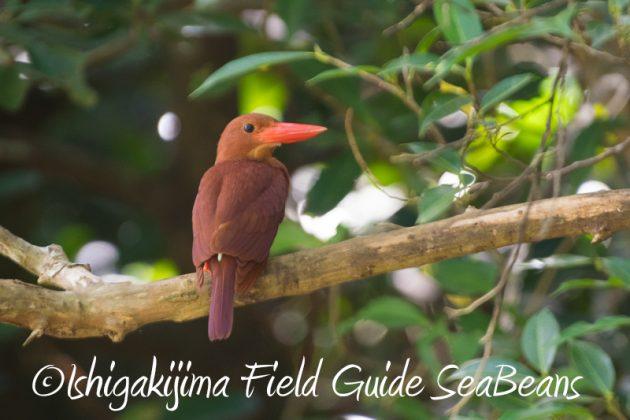 8月2日石垣島 バードウオッチング 野鳥撮影1