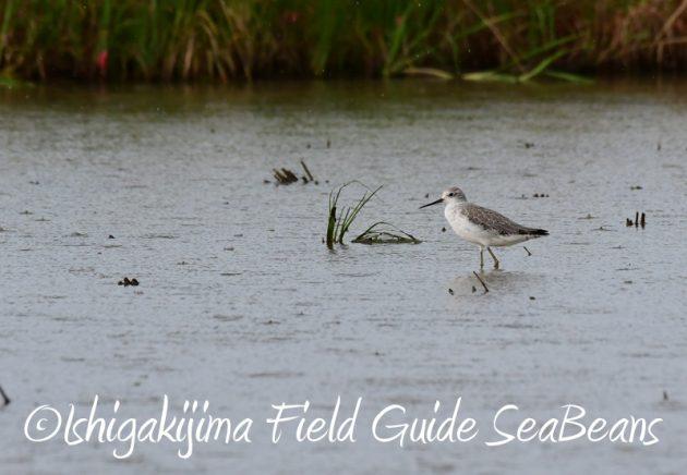 8月1日 石垣島 バードウオッチング 野鳥撮影8
