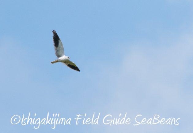 8月2日石垣島 バードウオッチング 野鳥撮影12
