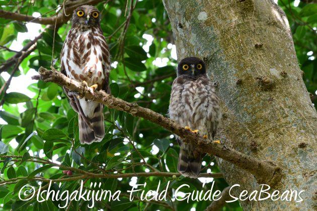 8月12日石垣島バードウオッチング&野鳥撮影18