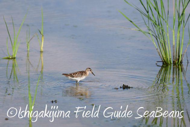 8月8日石垣島 バードウオッチング&野鳥撮影5