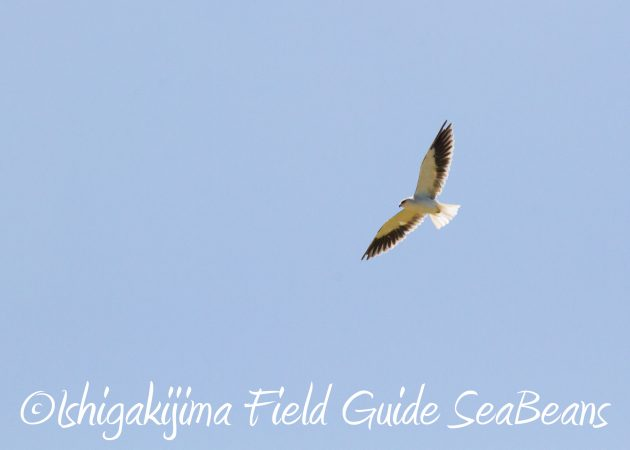 8月30日石垣島バードウオッチング&野鳥撮影14