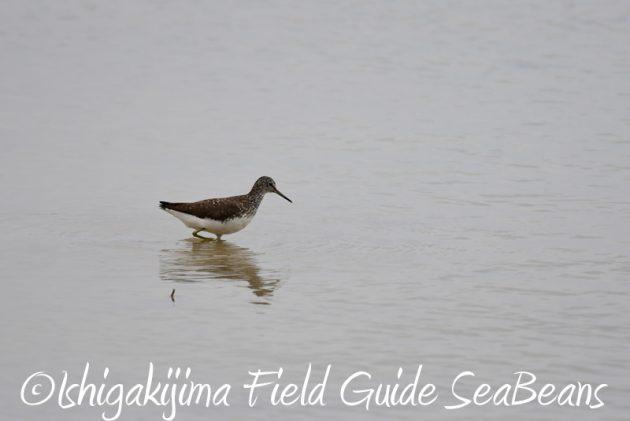 8月6日 石垣島の野鳥 バードウオッチング5