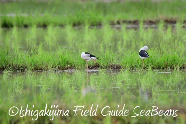 8月12日石垣島バードウオッチング&野鳥撮影6