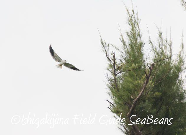 8月25日石垣島バードウオッチング&野鳥撮影ガイド15