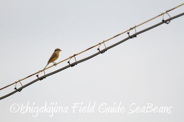 8月31日石垣島バードウオッチング&野鳥撮影6