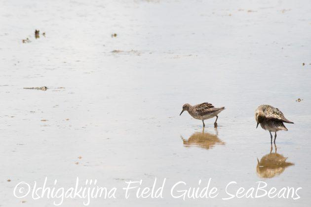 8月16日石垣島 バードウオッチング&野鳥撮影ガイド15