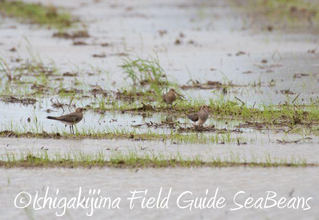 8月26日石垣島バードウオッチング&野鳥撮影ガイド3