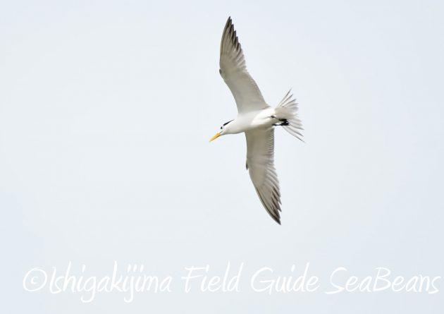 8月29日石垣島バードウオッチング&野鳥撮影3