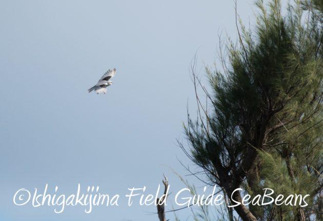 8月8日石垣島 バードウオッチング&野鳥撮影7