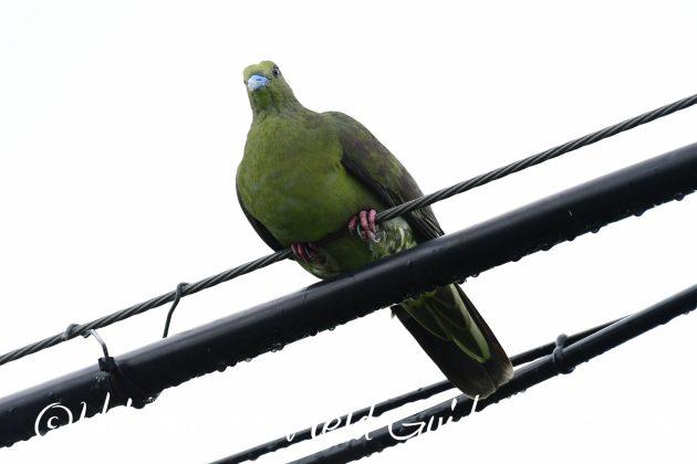 8月12日石垣島バードウオッチング&野鳥撮影12