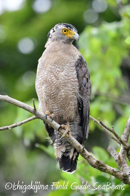 8月13日石垣島バードウオッチング&野鳥撮影3