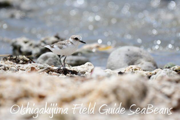 8月9日石垣島の野鳥 バードウオッチング1