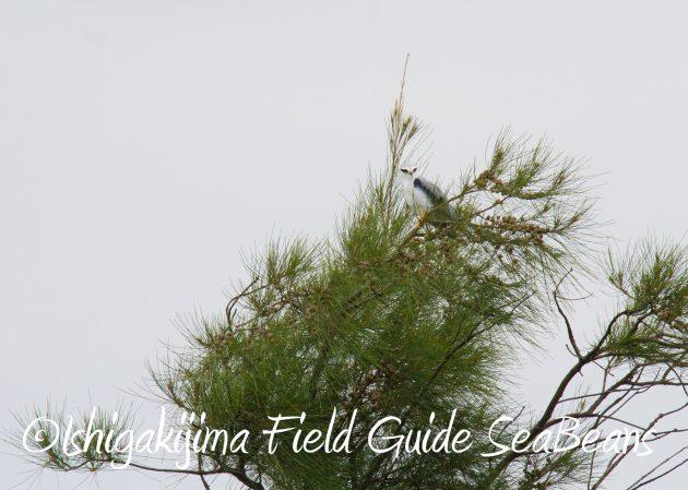 8月31日石垣島バードウオッチング&野鳥撮影8