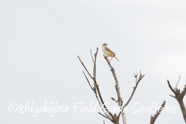 8月17日石垣島バードウオッチング&野鳥撮影20