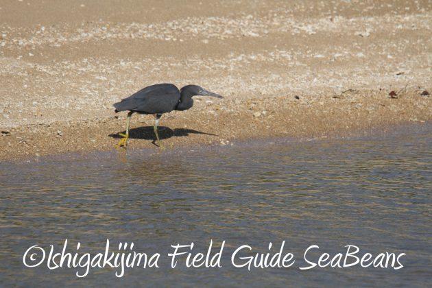8月29日石垣島バードウオッチング&野鳥撮影2