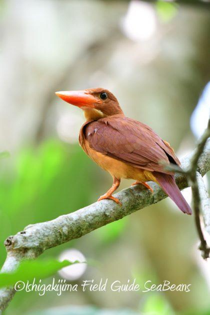 8月8日石垣島 バードウオッチング&野鳥撮影11